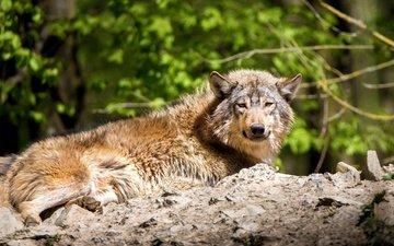 лежит, хищник, волк