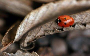 leaves, autumn, ladybug