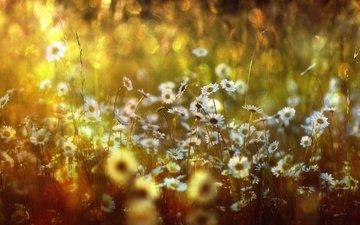 цветы, луг, ромашки, боке, цветы, солнечный свет