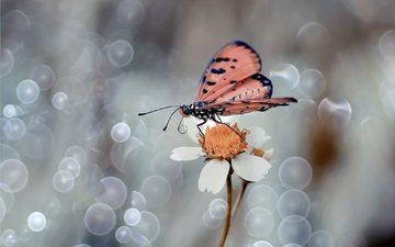 макро, насекомое, цветок, лепестки, бабочка, крылья, боке