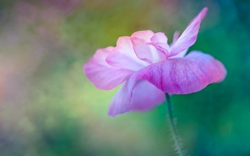 макро, цветок, мак, розовый