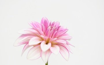 macro, petals, white background, dahlia