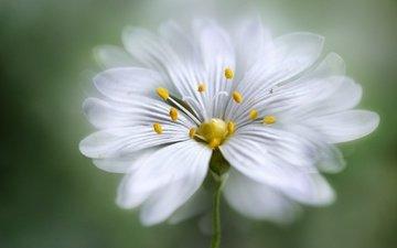 macro, flower, petals, stamens, blur, pollen, white flower