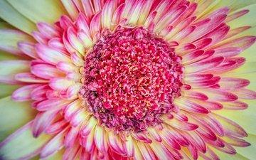 макро, цветок, лепестки, цвет, тычинки, хризантема