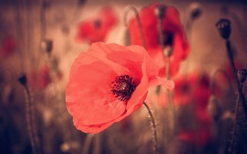 flowers, macro, petals, red, maki, stems