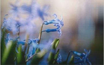 цветы, макро, весна, голубые цветы, пролеска, владимир каюков