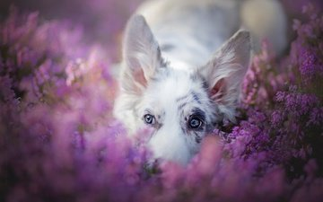 face, flowers, nature, look, dog, ears, heather, australian shepherd, the border collie, aussie
