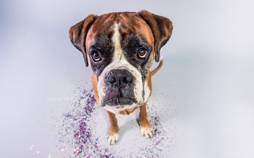 face, background, look, dog, boxer
