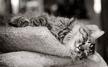face, mustache, wool, paws, cat, black and white, sleep