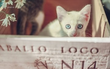 muzzle, look, kitty, chamomile, blue eyes, box, white kitten