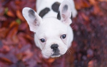 muzzle, look, dog, puppy, bokeh, french bulldog