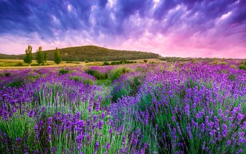 the sky, clouds, nature, lavender, hill, flowers