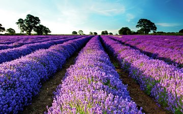 the sky, nature, field, lavender, flowers