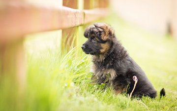 dog, puppy, german shepherd, the longitudinal axis of the, long haired german shepherd