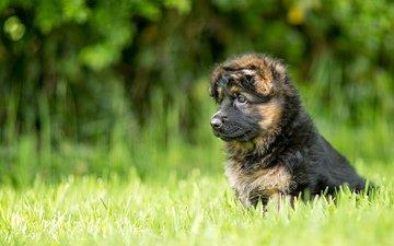 dog, puppy, german shepherd, the longitudinal axis of the, long haired german shepherd
