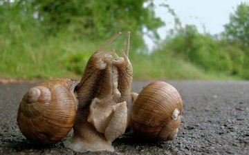 relationship, snails, grape snail