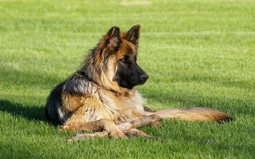 dog, german shepherd, shepherd