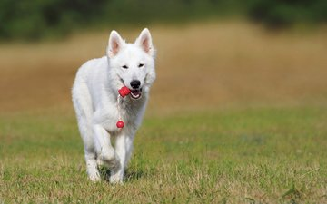 dog, shepherd, swiss shepherd dog, the white swiss shepherd dog