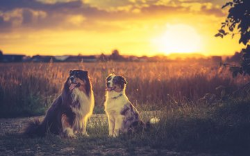 grass, sunset, twilight, dogs, shepherd, australian shepherd, aussie