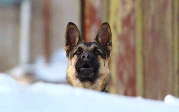 look, dog, german shepherd, shepherd