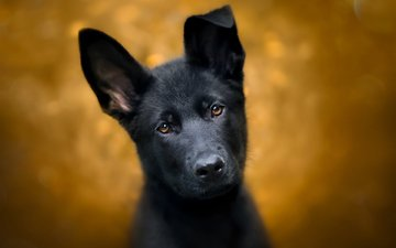 eyes, look, dog, puppy, german shepherd, shepherd, dog.puppy