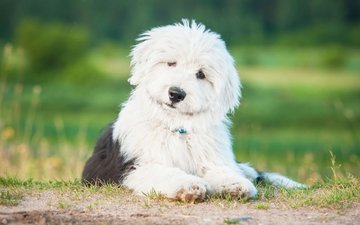 dog, puppy, shepherd, bobtail, the old english sheepdog