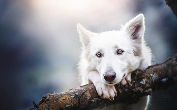 eyes, look, dog, shepherd, the white swiss shepherd dog