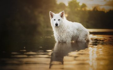 dog, wet, in the water