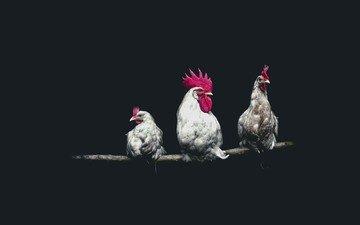 петух, курицы