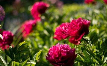 цветы, листья, лепестки, пионы