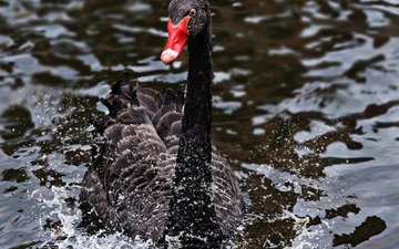 water, squirt, bird, swan, floats, black swan