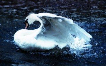 вода, птица, клюв, перья, плавание, лебедь, брызги воды