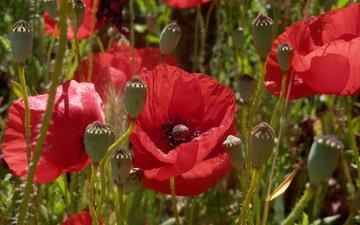 цветы, солнце, поле, лето, красные, маки