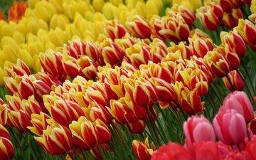 цветы, поле, весна, тюльпаны