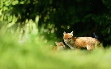 nature, forest, background, animals, branches, fox, blur, spruce, baby, cub, mother