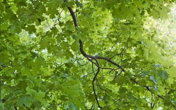 nature, leaves, branches, green