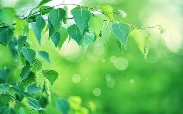 природа, ветви, весна, береза, боке, сережки, листья, дерево