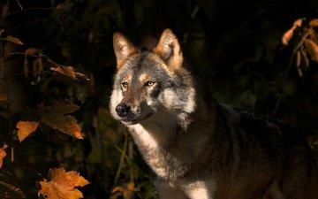 природа, листья, взгляд, осень, хищник, животное, волк