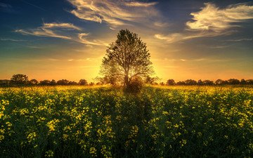 the sky, clouds, nature, tree, sunset, field, switzerland, meadow, wildflowers, sunlight, rape