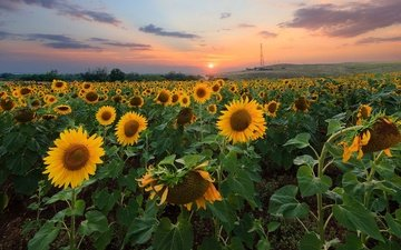 nature, sunset, field, sunflowers, flowers