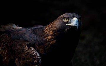 взгляд, птица, клюв, темный фон, беркут, оперение, хищная, золотой орел