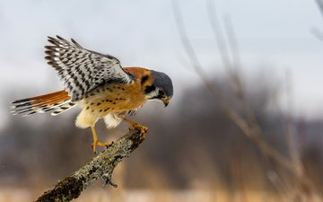 branch, wings, sitting, bird, falcon, predatory, kestrel