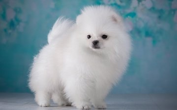 fluffy, white, puppy, spitz
