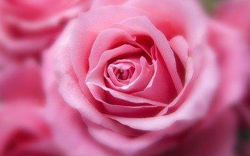 цветок, роза, лепестки, бутон, розовые