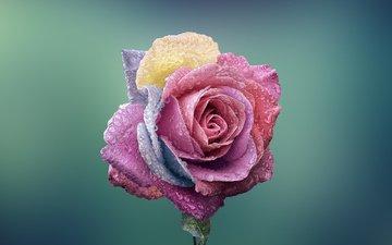nature, macro, flower, drops, rose, bud