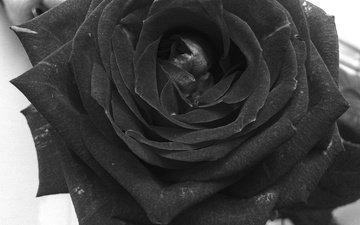 цветок, роза, лепестки, чёрно-белое