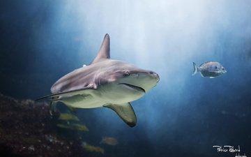 рыбы, акула