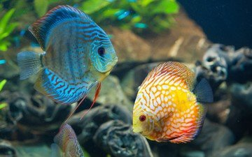 fish, under water, aquarium, diskus, coral reef