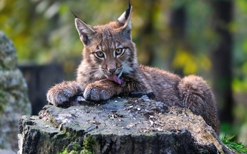 nature, lynx, look, predator, animal, language, stump, cub