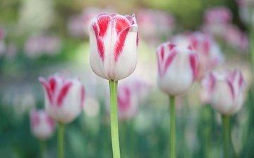 цветы, сад, весна, тюльпан